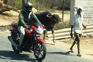 Links im Foto fährt ein Mensch Motorrad, rechts daneben läuft ein Mensch, der ein Rind an der Leine führt.
